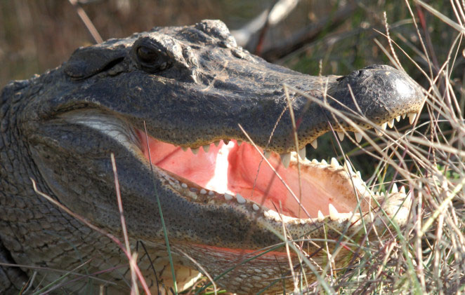 Florida Lands Basic Facts About American Alligators Defenders Of Wildlife