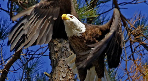 Bald Eagle, Blackwater National Wildlife Refuge in Maryland © Becky Gregory
