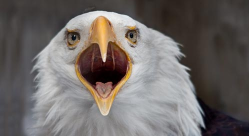 Bald Eagle | Basic Facts About Bald Eagles | Defenders of Wildlife