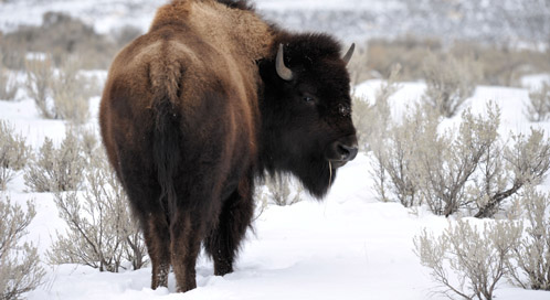 Bison, © Stacy Pervall