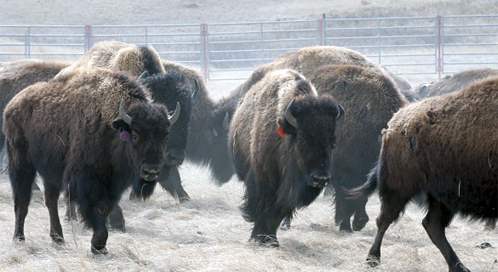 Bison, © Ted Wood / The Story Group