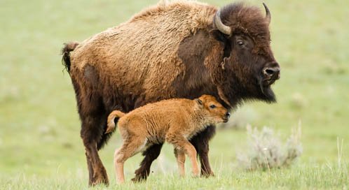 Bison with calf, © Diana LeVasseur