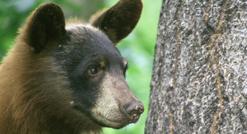 Black Bear, Photo: Steve Maslowski /  U.S. Fish and Wildlife Service