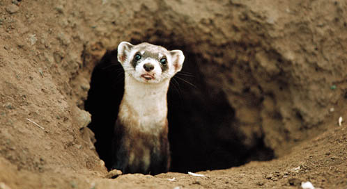 Black-footed Ferret, © Joel Sartore