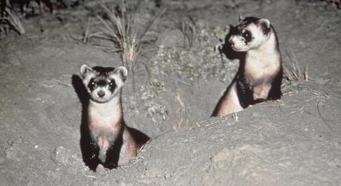 Black-footed Ferret, Photo: Luray  Parker / U.S. Fish and Wildlife Service