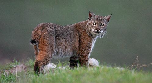Bobcat Basic Facts About Bobcats Defenders Of Wildlife