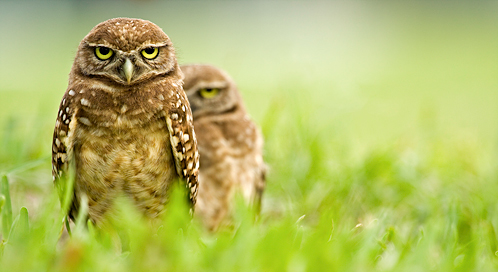 Burrowing Owl, © Scott Anderson