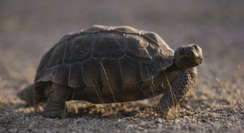 Desert Tortoise, © Jonathan S. Blair / National Geographic Stock