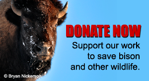 Donate Now to Save Bison
