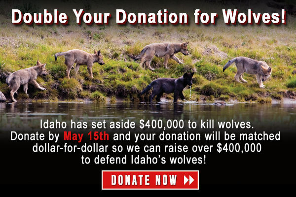 Double your Donation for Wolves!