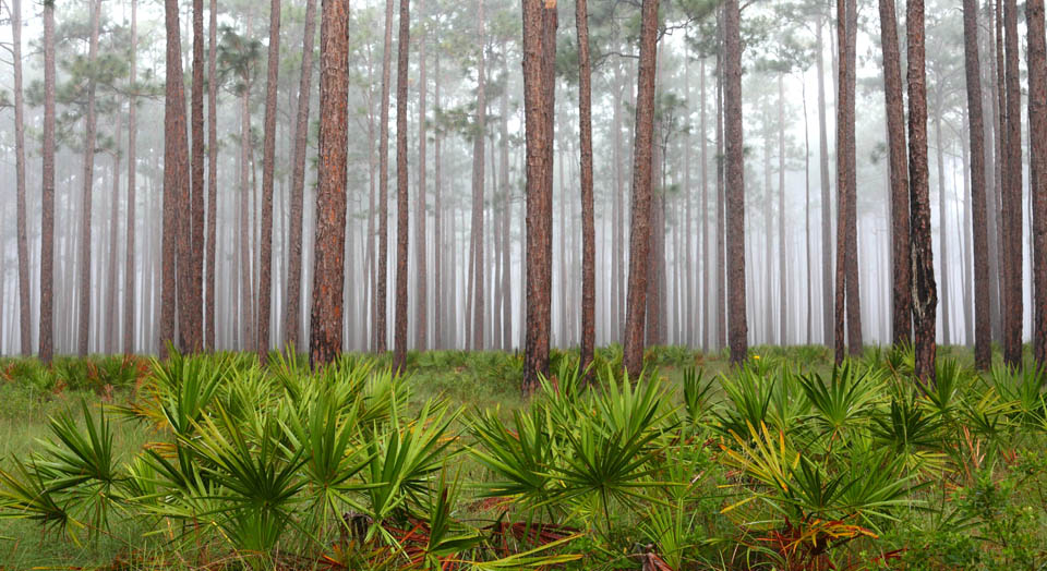 Florida Panhandle (Apalachicola National Forest), © Julie Tew