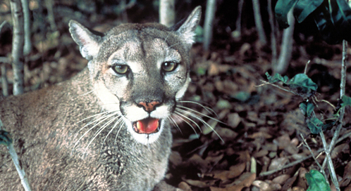 Florida Panther, Photo: U.S. Fish and Wildlife Service