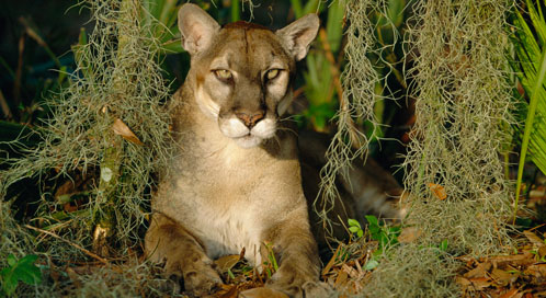 Florida Panther, © Lynn M. Stone/Nature Picture Library (captive)