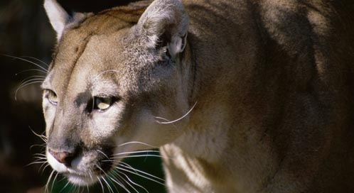 Florida Panther, © Superstock