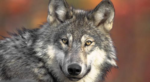 Gray Wolf, Photo: Gary Kramer / U.S. Fish and Wildlife Service