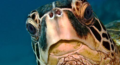 Green Sea Turtle, © Robert Wintner DPC