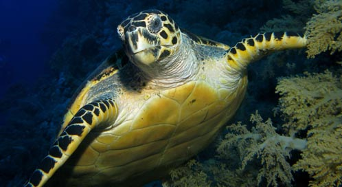 Hawksbill Sea Turtle, © James Dawson