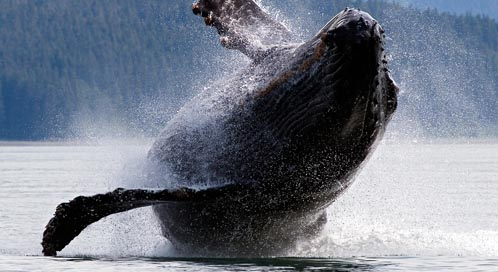 Humpback Whale, © William Welch