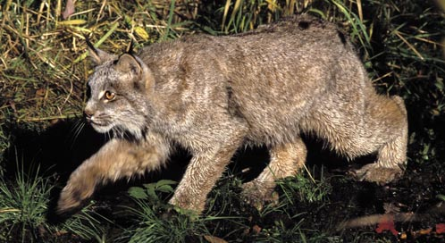 Lynx, Photo: Erwin and Peggy Bauer / U.S. Fish and Wildife Service