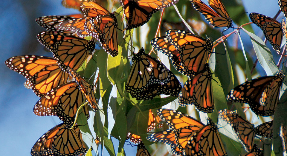 Monarch butterflies, © Yuval Helfman/Adobe