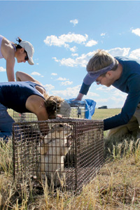 Prairie Dog Relocation, Photo: Lacy Gray / Defenders of Wildlife