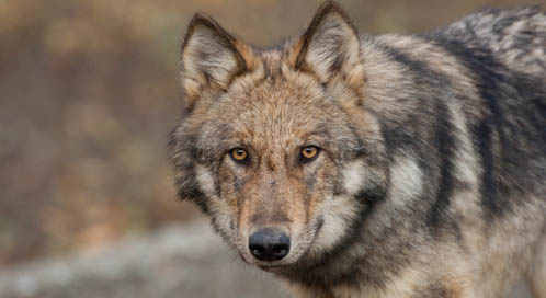 Gray wolf, © Michael Quinton, National Geographic Stock