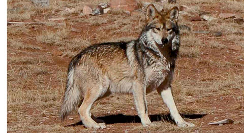 Mexican gray wolf, USFWS