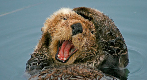 Sea otter, © Ryan M. Vickers
