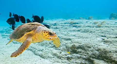 Sea turtle, © Masa Ushioda / seapics.com