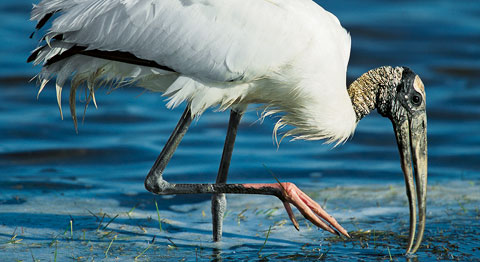 Wood stork, © Yva Momatiuk and John Eastcott / Minden Pictures
