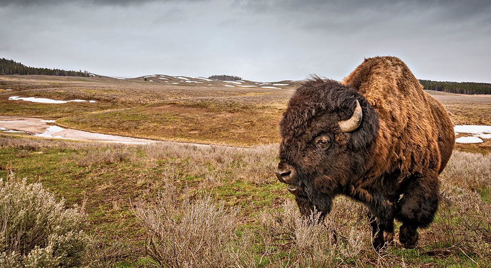 Bison, © Jim Shane