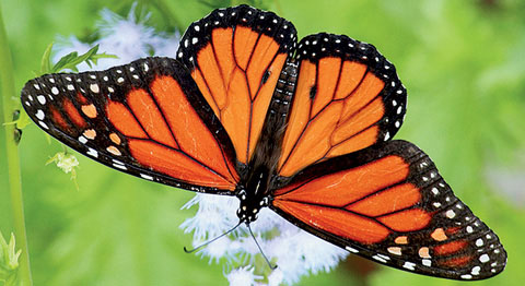 Monarch Butterfly, © TexasEagle, Flickr