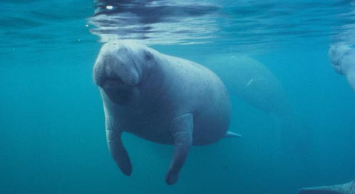Florida Manatee, Photo: Jim Reid / USFWS