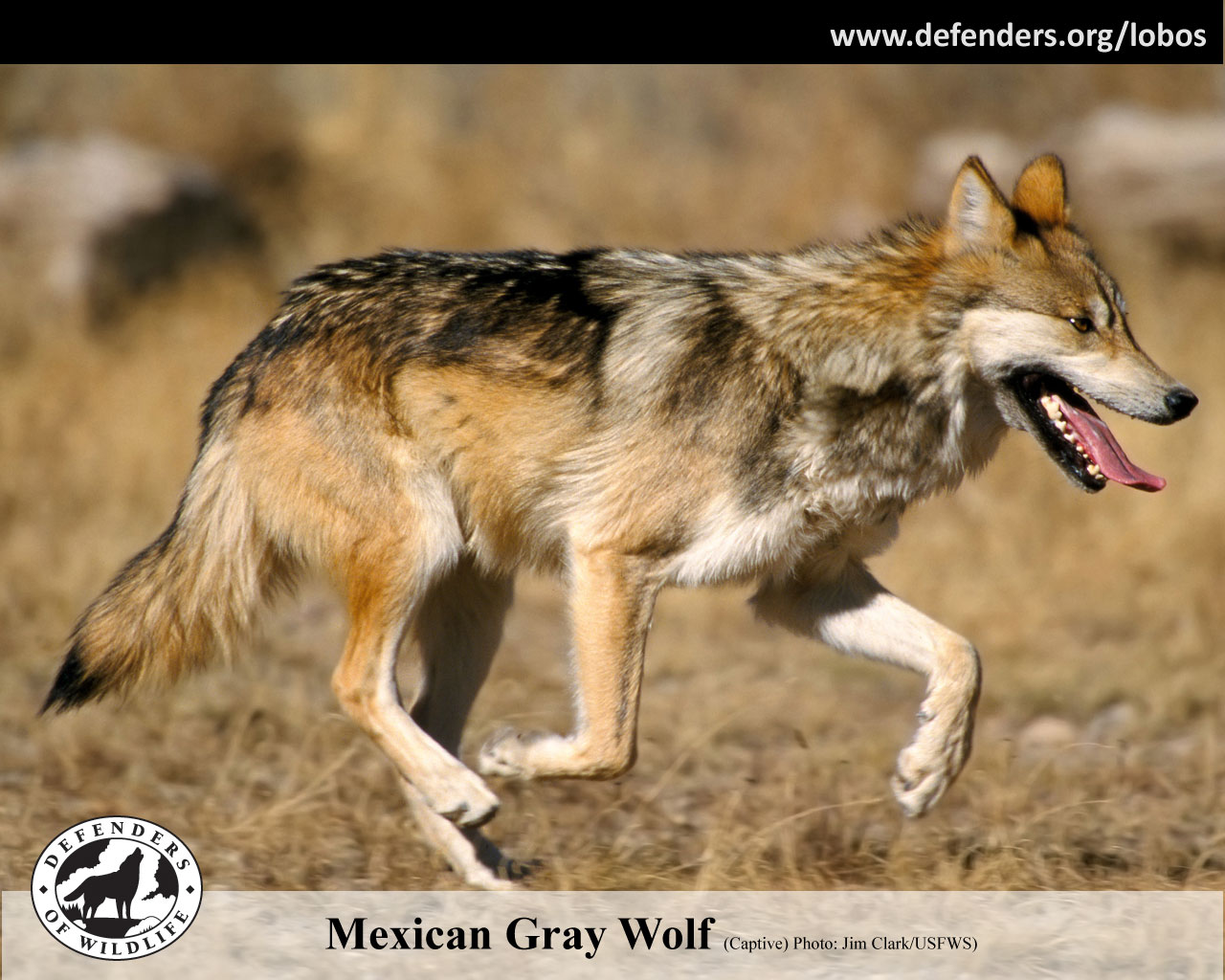 Gray Wolf Numbers 2014 Mexican Gray Wolf Numbers