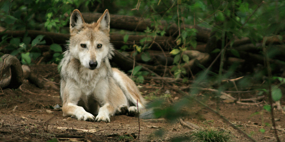 Mexican gray wolf (captive), © Wolf Conservation Center