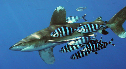 Oceanic Whitetip Shark, © Peter Koelbl