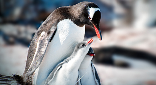 Penguins | Basic Facts About Penguins | Defenders of Wildlife