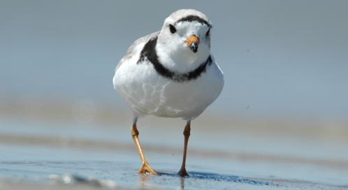 Piping Plover, Photo: Gene Nieminen / U.S. Fish and Wildlife Service
