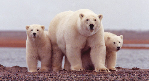 Polar Bears, Photo: USFWS