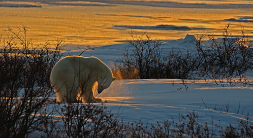 Polar Bear, © William Bonilla