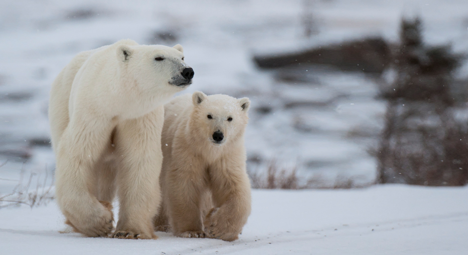 polar bears, © Daniel Hatch