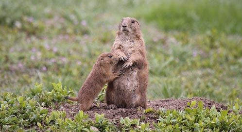 Black-Tailed Prairie Dog, © Tom Foster