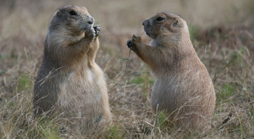 Prairie Dogs, © Michelle Thomas