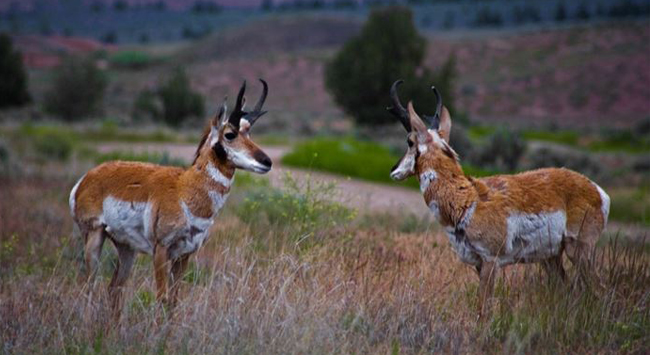 pronghorn, © Larry Andreasen
