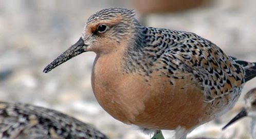 Red Knot, Photo: Greg Breese / U.S. Fish and Wildlife Service