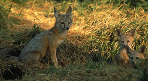San Joaquin kit fox, Photo: U.S. Fish and Wildlife Service