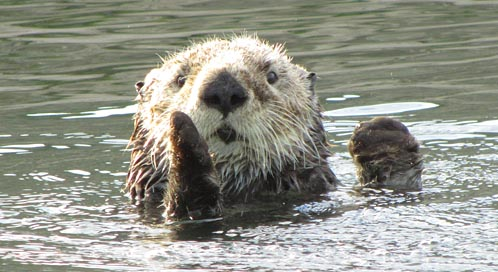 Sea Otter, © Marc Mantione