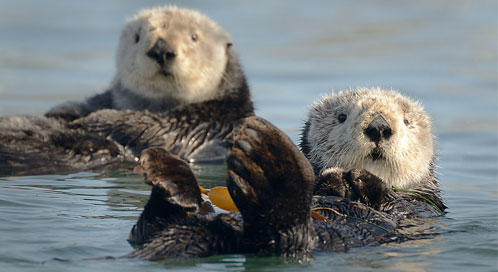Sea otters, © Tony Trupp
