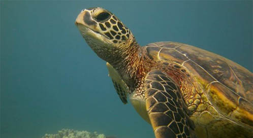 Sea Turtle, © Christina Albright-Mundy