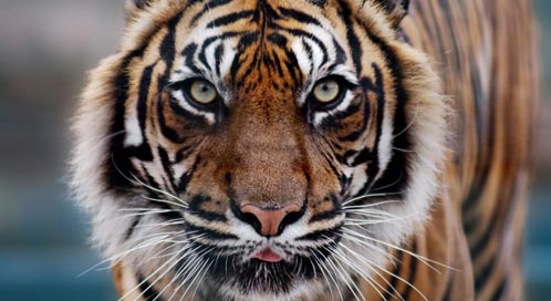 Tiger What You Can Do To Help Tigers Defenders Of Wildlife